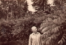 маньчжурский орех, 1955 г.